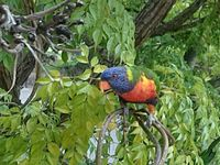 A Native Rainbow Lorrikeet enjoys the Tree Seed Pods at The Resort entrance.
