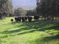 Some of our Black Angus Cows