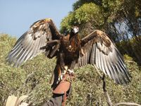 Wedgetail eagle at Raptor Domain