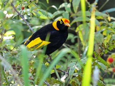 You'll find a good variety of rainforest birds at Bellthorpe Stays