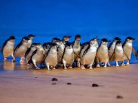 Phillip Island Penguin Parade...