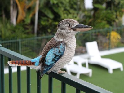 Daily kookaburra feeding