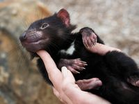 Come face to face with endangered devils in Tasmanian devil unzoo.