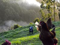 Our chooks and dog skeets out the back in Autumn