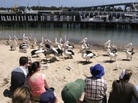 Pelican feeding daily