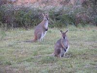 Nature is all around: wallabies at Callicoma Hill