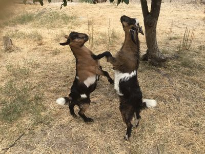 Come play with Billy and Bennie our pet miniature goats