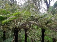 Towering Tree Ferns