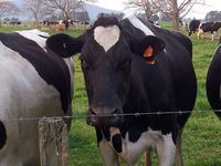The cows are at the back fence