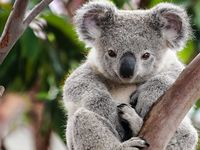 Koala at the Conservation Centre...