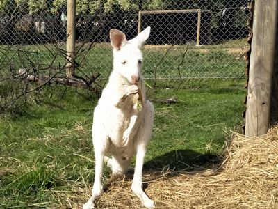 Kanga our white kangaroo