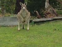Kangaroo's in the front garden