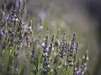 Early morning lavender