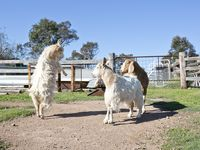 Watch our goats play
