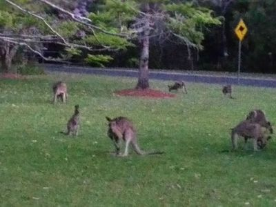 roos on our front lawn