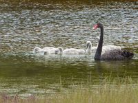 Black swan with cygnets on the Harriet